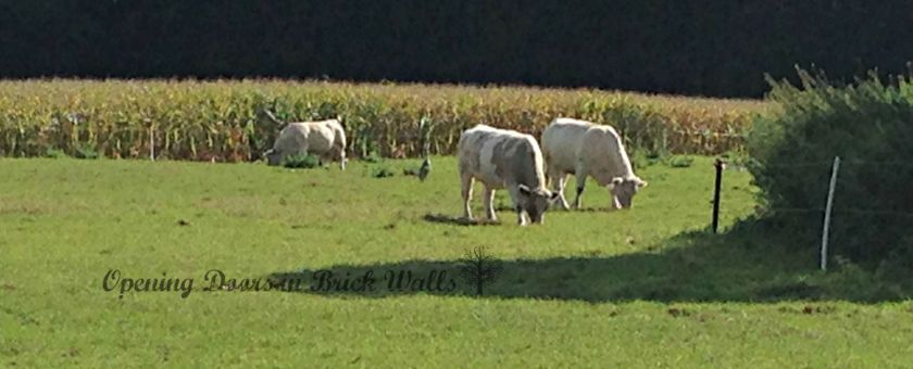 cows1