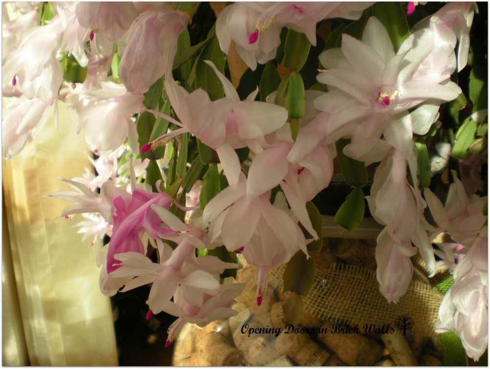 Tuesday's Child's Family Heirlooms: Bomi's Christmas Cactus (2/5)