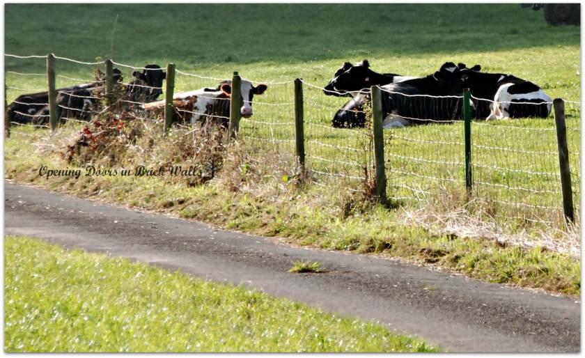 cows3tiny