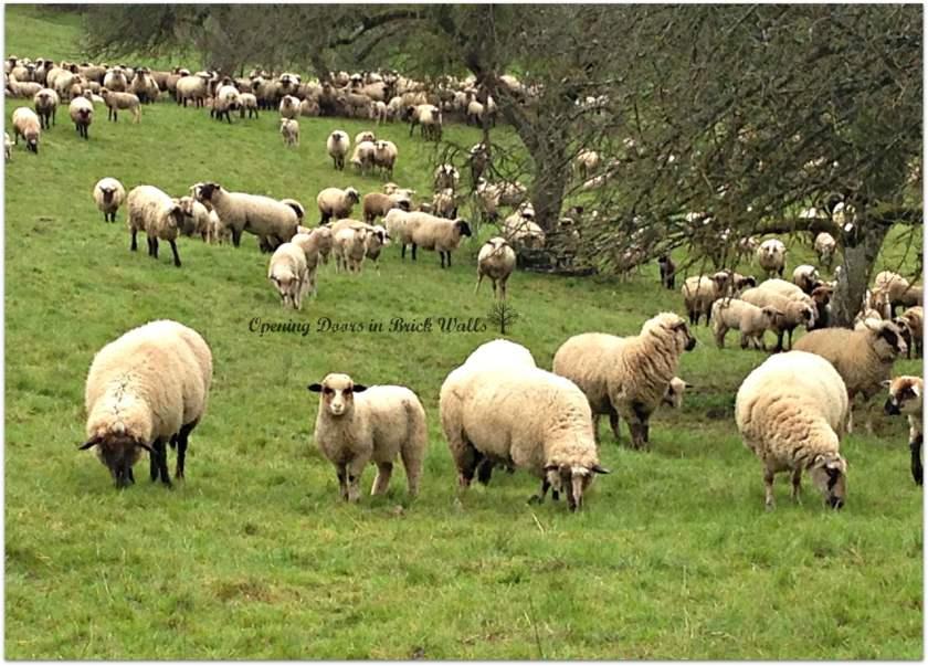 sheeptiny